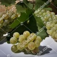 termek2174/olaszrizling-csemegeszolo-2174-504754894-1200.jpg / Olaszrizling csemegeszőlő