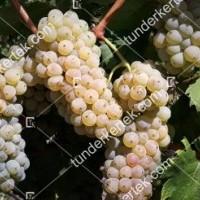 termek2174/olaszrizling-csemegeszolo-2174-519234102-1200.jpg / Olaszrizling csemegeszőlő