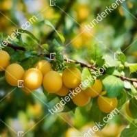 termek2200/husos-som-lutea-2200-1937445688-1200.jpg / Húsos som (Lutea)