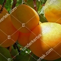termek226//ananasz-kajszi-226-456057550-1200.jpg / Ananász kajszi
