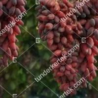 termek2261/aszja-csemegeszolo-2261-1674253272-1200.jpg / Ászja csemegeszőlő
