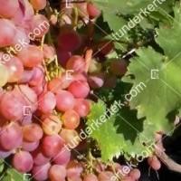 termek2269/flamingo-csemegeszolo-2269-284607664-1200.jpg / Flamingó csemegeszőlő