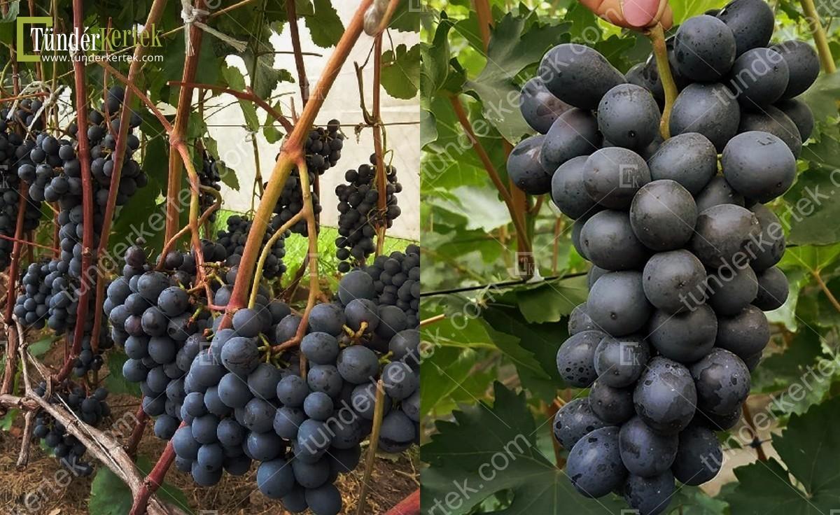 Kismis tangra csemegeszőlő
