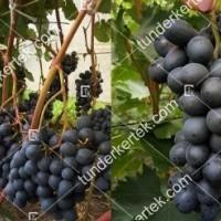 termek2274/kismis-tangra-csemegeszolo-2274-1724607080-1200.jpg / Kismis tangra csemegeszőlő