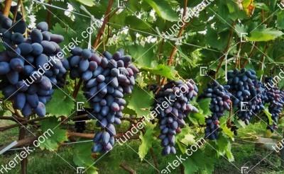 Pamjati negrulja csemegeszőlő