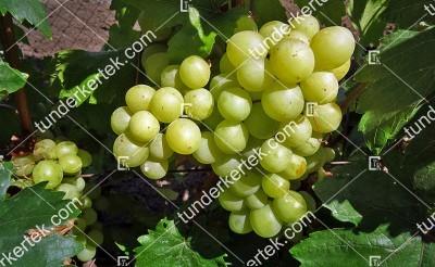 Tuzlovszkij velikan csemegeszőlő
