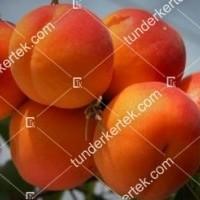 termek229//cegledi-arany-229-567004719-1200.jpg / Ceglédi arany kajszi
