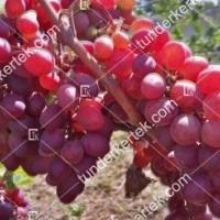 termek2295/pamjati-bujenko-csemegeszolo-2295-1123853143-1200.jpg / Pamjati ucsitelja csemegeszőlő
