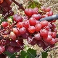 termek2295/pamjati-bujenko-csemegeszolo-2295-12451349-1200.jpg / Pamjati ucsitelja csemegeszőlő