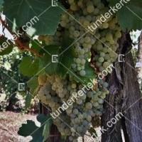 termek2303/ezerfurtu-borszolo-2303-391200135-1200.jpg / Ezerfürtű borszőlő