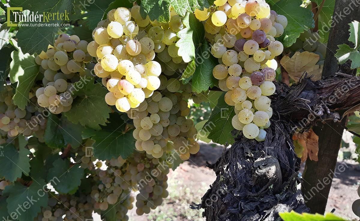Ezerfürtű borszőlő