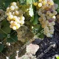 termek2303/ezerfurtu-borszolo-2303-886436087-1200.jpg / Ezerfürtű borszőlő