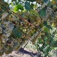 termek2303/ezerfurtu-borszolo-2303-930178066-1200.jpg / Ezerfürtű borszőlő