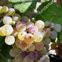 termek2303/ezerfurtu-borszolo-2303-94943275-1200.jpg / Ezerfürtű borszőlő