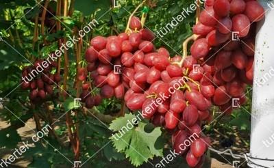 Velour (Velúr) csemegeszőlő