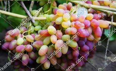 Árocsnij csemegeszőlő
