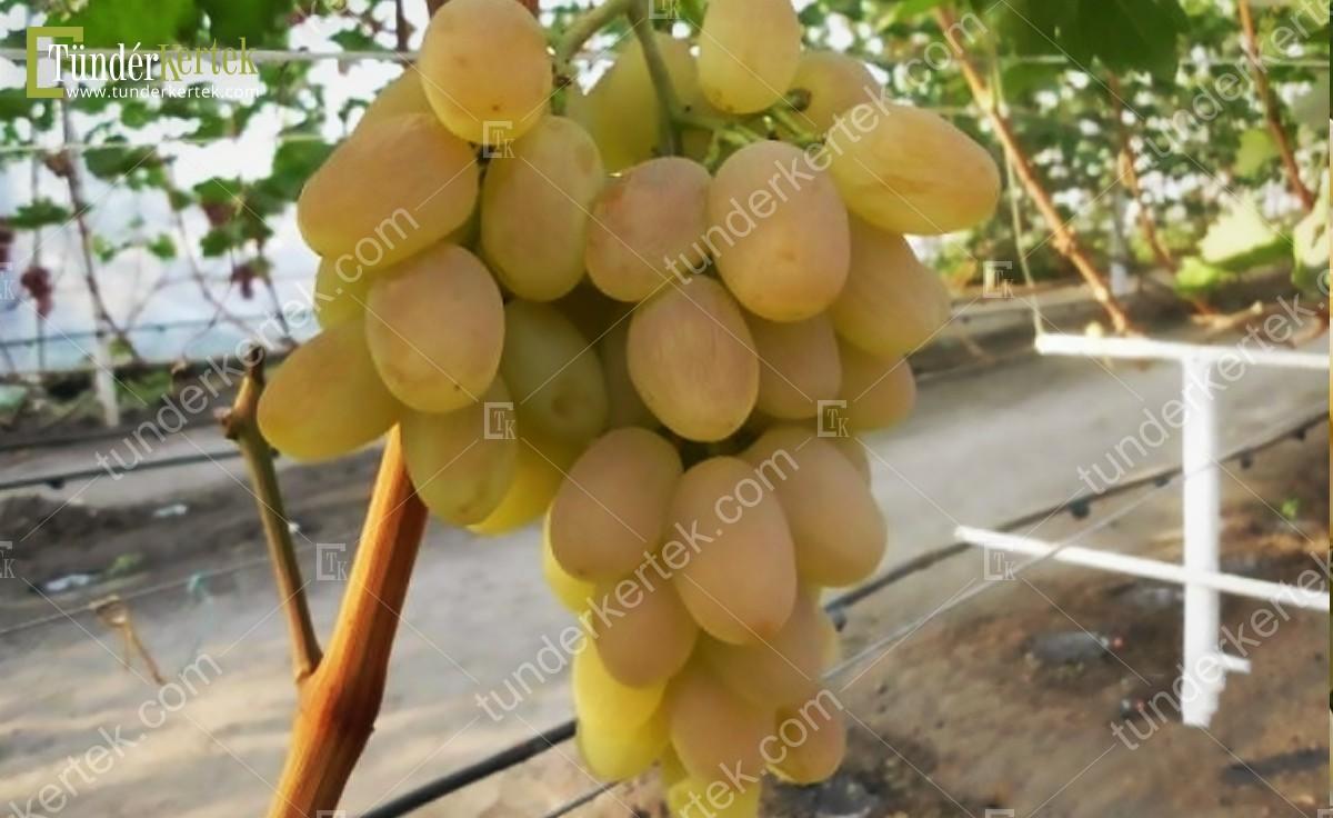 Bagatjanovszkij csemegeszőlő