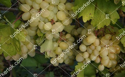 Blagoveszt csemegeszőlő