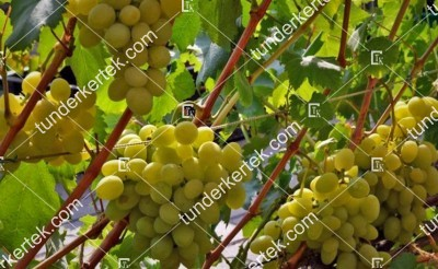 Galahad csemegeszőlő