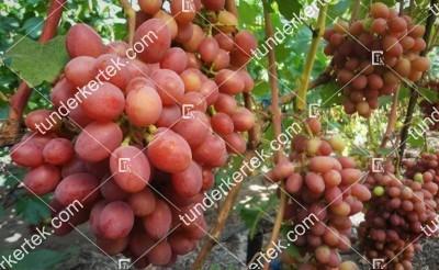 Gurmán csemegeszőlő