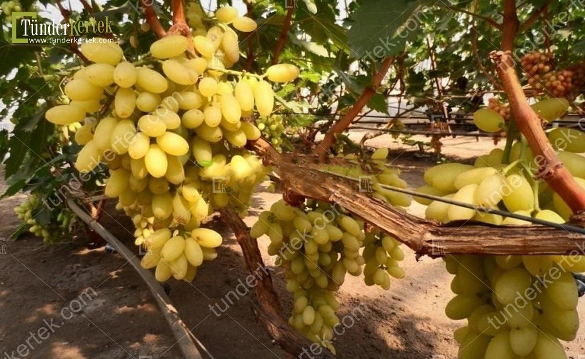 Kismis stoletie csemegeszőlő