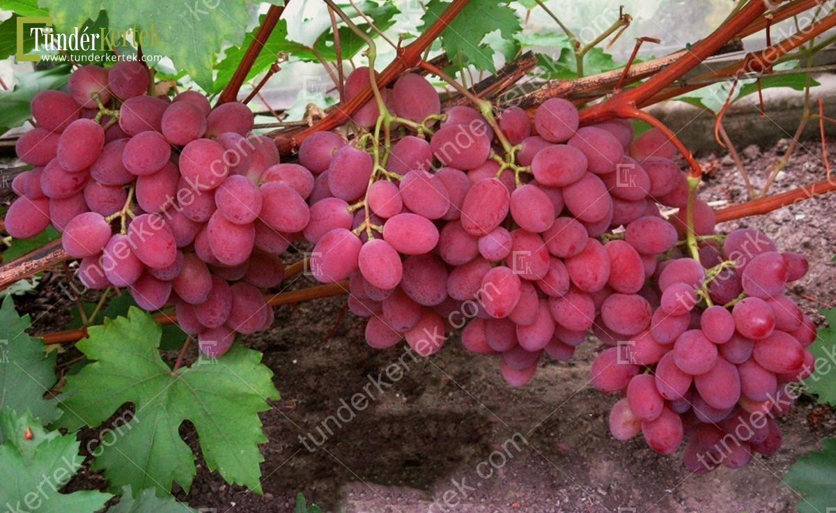 Rubinovij jubilej csemegeszőlő