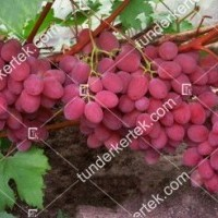 termek2374/rubinovij-jubilej-csemegeszolo-2374-1582716608-1200.jpg / Rubinovij jubilej csemegeszőlő