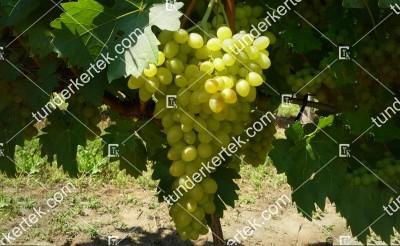 Sába királynője csemegeszőlő