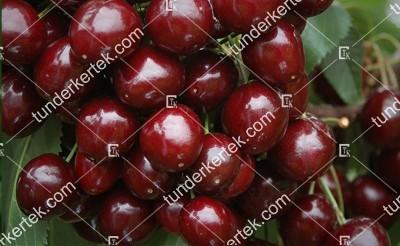 Badacsonyi óriás cseresznye