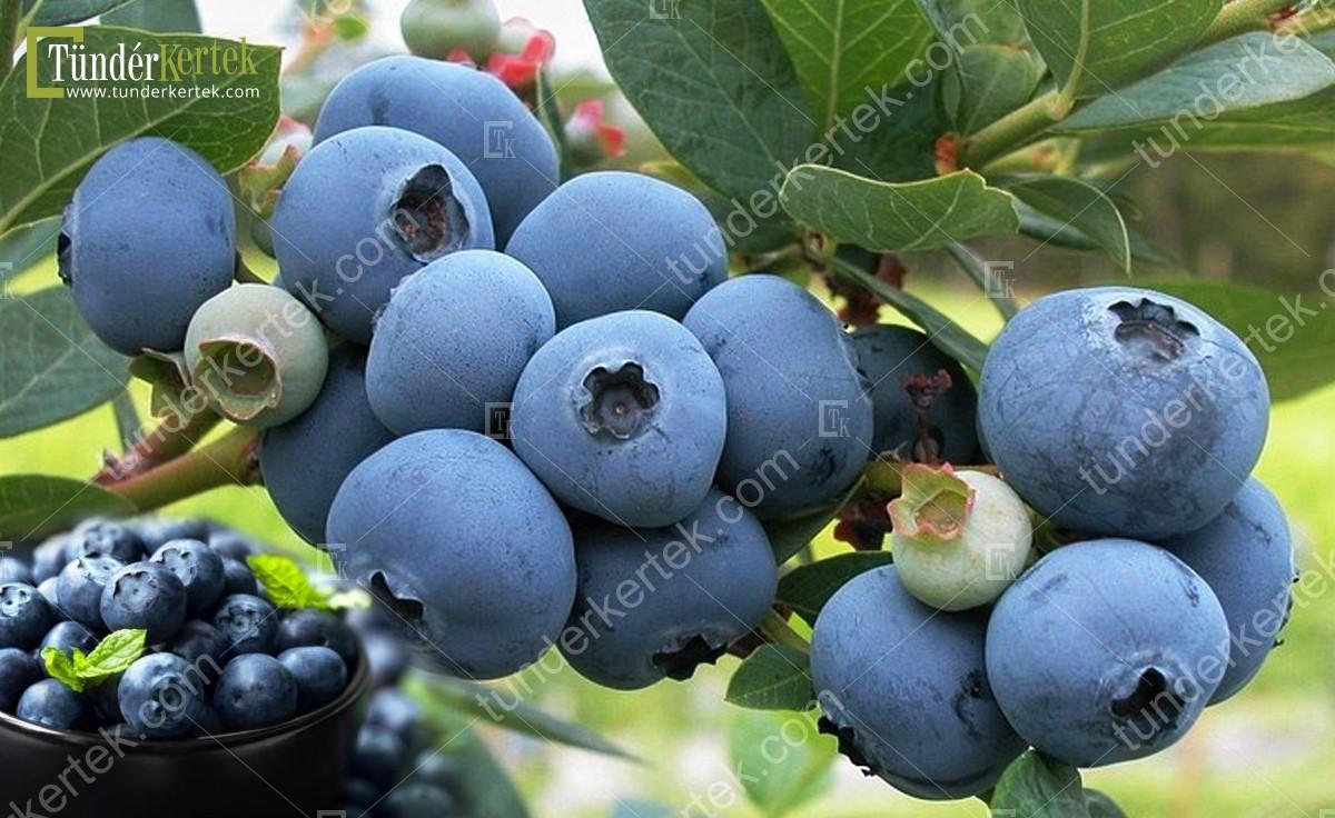 Bluecrop (kék) áfonya