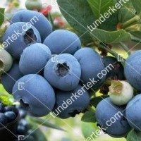 termek2457/bluecrop-afonya-2457-687121284-1200.jpg / Bluecrop (kék) áfonya