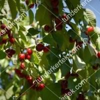 termek246/botond-246-1934626777-1200.jpg / Botond cseresznye