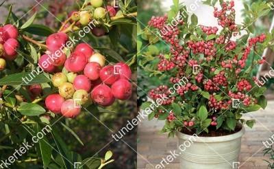 Pink Blueberry (rózsaszín) áfonya