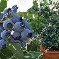 termek2461/spartan-afonya-2461-674887852-1200.jpg / Spartan (kék) áfonya
