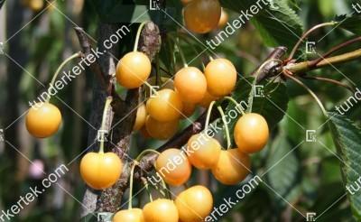 Dönissens gelber cseresznye