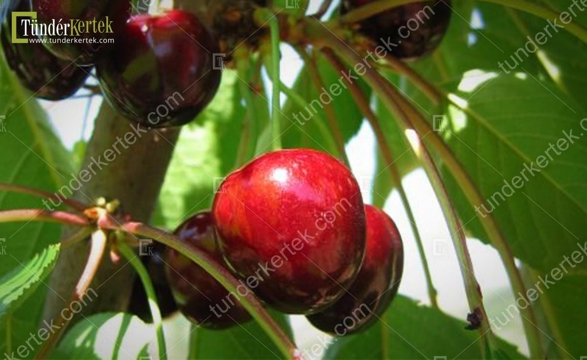 Jaboulay cseresznye