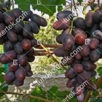 termek2578/alvika-csemegeszolo-2578-760506610-1200.jpg / Alvika csemegeszőlő