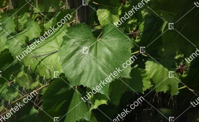 Teleki 5C Gm.6 szőlőalany