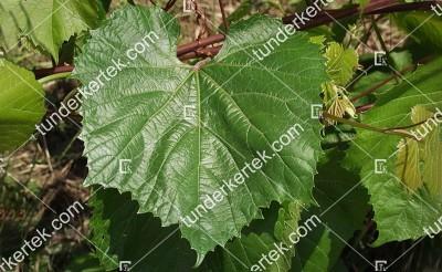 Teleki Kober 5BB K.21 szőlőalany