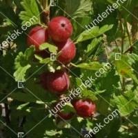 termek2603/hinnonmaki-rot-koszmete-2603-179432611-1200.jpg / Hinnonmaki red köszméte