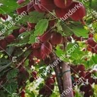 termek2603/hinnonmaki-rot-koszmete-2603-2063951369-1200.jpg / Hinnonmaki red köszméte
