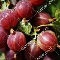 termek2603/hinnonmaki-rot-koszmete-2603-294519453-1200.jpg / Hinnonmaki red köszméte