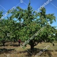 termek262/solymari-gombolyu-262-820291686-1200.jpg / Solymári gömbölyű