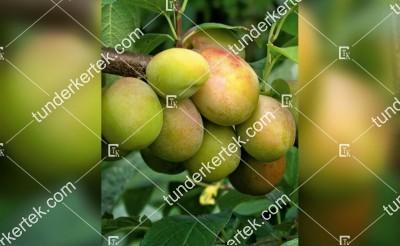 Colora (sárga) szilva
