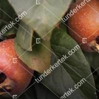 termek285//szentesi-rozsa-naspolya-285-1194515975-1200.jpg / Szentesi rózsa naspolya