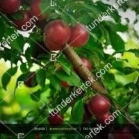 termek319/potyoka-szilva-mirabolan-319-1270043235-1200.jpg / Potyóka szilva (Mirabolán)