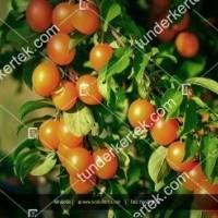 termek319/potyoka-szilva-mirabolan-319-1980525921-1200.jpg / Potyóka szilva (Mirabolán)