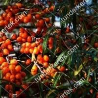 termek328/askola-homoktovis-termo-328-485900333-1200.jpg / Askola homoktövis (termő)