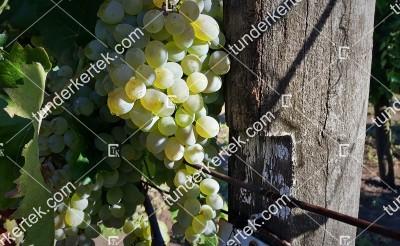 Teréz csemegeszőlő