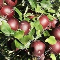 termek343/arkansasi-fekete-alma-343-1956949716-1200.jpg / Arkansasi fekete alma